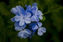 Leadwort накидки в красивом пурпуре к сини стоковые изображения