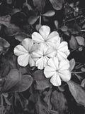 Leadwort del cabo, flor blanca del grafito en efecto blanco y negro Fotografía de archivo libre de regalías