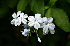 Leadwort do cabo (auriculata) do Plumbago, close-up Imagem de Stock