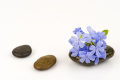 Leadwort do cabo, Leadwort (Lam do auriculata da plumbagina ) Fotos de Stock Royalty Free