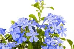 Leadwort do cabo, Leadwort (Lam do auriculata da plumbagina ) Imagem de Stock Royalty Free