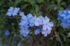 Leadwort do cabo; Plumbagina branca; Plumbagina Fotos de Stock Royalty Free
