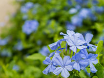 Leadwort kwiaty Fotografia Royalty Free