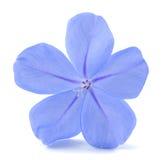 Leadworth-Blume Stockbilder