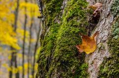 Leaf że próby zostawać w swój drzewie Obrazy Stock