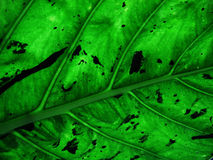 Leaf. Macro of a leaf with pattern of veins forming diagonal pattern stock photo