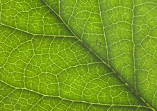 Leaf. Detail of a green leaf illuminated from the back showing the vein structure stock photos