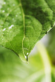 Leaf. Green leaf with sunflower water drop Stock Photos