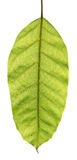 A leaf Royalty Free Stock Photo
