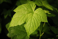 Leaf. Single, thimbleberry leaf coated in morning dew in direct sunlight Royalty Free Stock Image