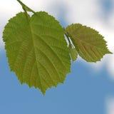 Leaf. Green leaf on blue sky background Royalty Free Stock Photos
