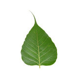 Leaf. Peepal leaf symbolizing spiritual and prosperity Stock Images