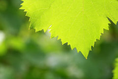 Leaf. The warmth of spring and summer the leaves feel Stock Images
