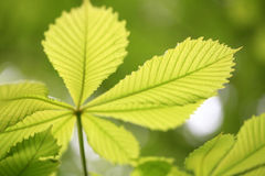Leaf. The warmth of spring and summer the leaves feel Royalty Free Stock Photo