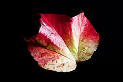 A leaf. In vibrant colors on black background Stock Image