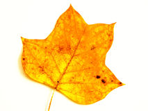 Leaf (118) Royalty Free Stock Photography