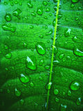 Leaf. Photosynthesis Royalty Free Stock Photography