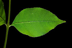 Leaf 12. Isolated macro green tree leaf Royalty Free Stock Images