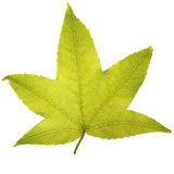 Leaf. Perfect maple leaf on white background Royalty Free Stock Photos