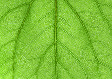 Leaf. Close up to leaf veins Stock Image