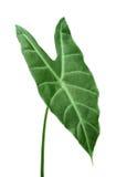 Leaf Royalty Free Stock Photos