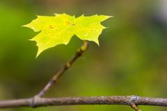 Leaf. Of a maple on a branch royalty free stock image