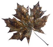 Leaf. Maple leaf covered with structure under old copper stock photo