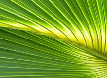 Leaf. Closeup of palm leaf illuminated by the sun Stock Photography