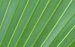 Leaf. A close-up of palm leaf Royalty Free Stock Photography