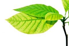 Free Leaf Stock Photos - 13550173