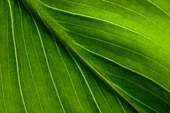 Leaf. Close up,  proveins Royalty Free Stock Photography