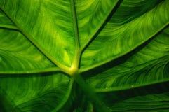 LEAF. Close-up of arum's leaf stock images
