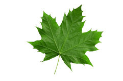 Leaf Royalty Free Stock Photos