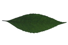 Leaf. Green leaf on the white background Royalty Free Stock Photo
