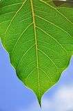 Leaf. Boo leaf in thai temple Royalty Free Stock Photography