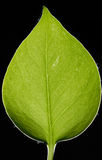 Leaf. A green leaf, isolated, with leaf veins Royalty Free Stock Image