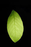 Leaf. A green leaf, isolated, with leaf veins Royalty Free Stock Photo