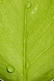 Leaf. A macro view of green leaf, isolated, with leaf veins, and beads of water Royalty Free Stock Photo