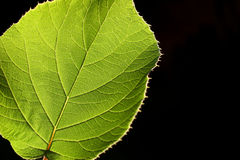 Leaf. With backlight Royalty Free Stock Image