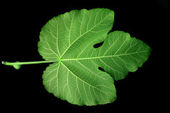 Leaf. Mulberry Leaf detail Stock Photos