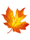 Leaf. Autumn leaves illustration - vector illustration Royalty Free Stock Photography