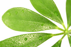 Leaf. A green leaf and a white background Royalty Free Stock Photo