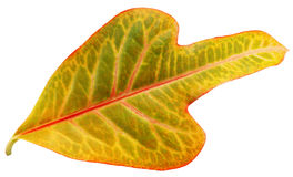 Leaf. Leaf isolated on white with a clipping path royalty free stock image