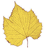 Leaf. Vector drawing of leaf with detailed venation Royalty Free Stock Image