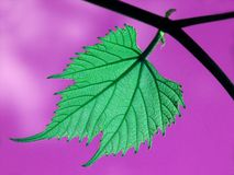 Leaf. Strange Green Grape Leaf on branch close-up with purple sky in background Stock Image