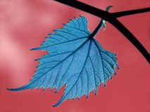 Leaf. Blue Grape Leaf on branch close-up with red sky in background Stock Photos