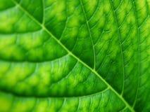 Leaf. Macro shot of leaf texture Royalty Free Stock Photo