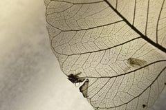 Leaf 2. Close-up shot of a transparent leaf Stock Photography