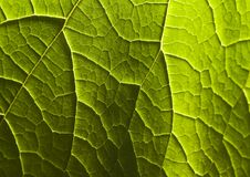 Leaf. In botany, a leaf is an above-ground plant organ specialized for photosynthesis. For this purpose, a leaf is typically flat (laminar) and thin, to expose Royalty Free Stock Image