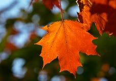 Leaf. Red maple leaf stock photos